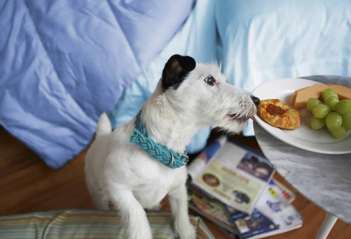 Black and white terrrier dog licking breakfast plate on bedside table